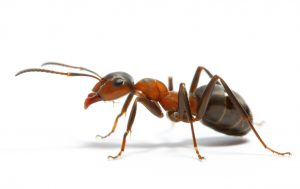 Ant Control is another service by Pest Control Bothastrand, Pest Worx are master exterminators.