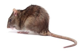 Brown Rats are also exterminated by Pest Control Bothastrand, Pest Worx are protecting our environment.