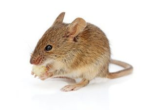 Rodent Control George is a devision of Pest Worx here in the Garden Route