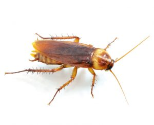 American Cockroach Control Hartenbos is a breeze for the specialists here at Pest Worx George