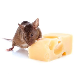 Rodent Control George are master Rat and Mouse Control experts. George Pest Control are number 1 in the Garden Route
